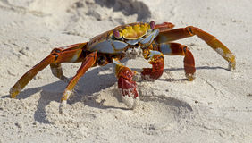 Red crab on the sand 1. Red crab on the beach. Santa Cruz island, Galapagos Stock Images