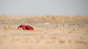 Red crab sand sea beach amazing. Red crab sand sea beach Stock Photo