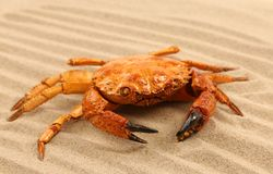 Red crab on the sea sand Royalty Free Stock Photo