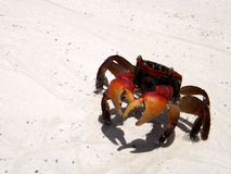 Red crab of the seychelles Stock Photography