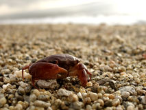 Red crab on the shore Stock Photo