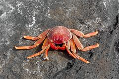 Red crab on rocks royalty free stock images