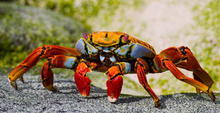 Red crab sitting on the rocks. The Galapagos Islands. Pacific Ocean. Ecuador. Royalty Free Stock Photo