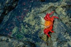 Red crab walking on rocks Royalty Free Stock Image
