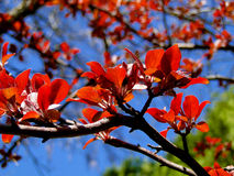 Red Crabapple Blossoms Royalty Free Stock Photography