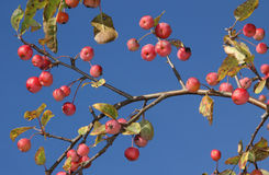Red crabapples against blue sky Stock Image