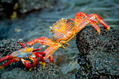 Red crabs in rocks galpagos islands Stock Images
