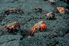 Red crabs in rocks galpagos islands Stock Image