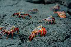 Red crabs in rocks galpagos islands Stock Photography
