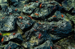 Red crabs walking on rocks Royalty Free Stock Photography