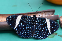 Red Cracker butterfly,aka,Hamadryas amphinome Stock Photo