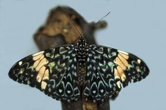 Red Cracker Hamadryas amphinome mexicana butterfly rests on a branch. royalty free stock images