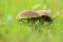 Red cracking bolete Royalty Free Stock Photo