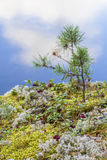 Red cranberries background berry among moss and small pine on the cliff Stock Image