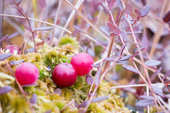 Red cranberries at a bog in Finland Royalty Free Stock Image