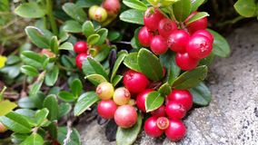 Red cranberries. On a branch Stock Images