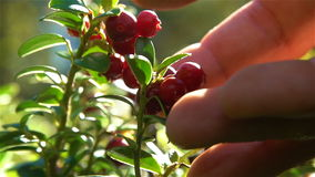Red cranberries with dew drops. Human hand plucks berries. Slow motion. Red cranberries with dew drops. Human hand plucks berries. Close-up. Slow motion stock video footage
