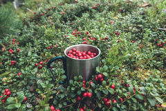 Picking lingonberries in cup. A forest with red lingonberries growing on the moss and a cup with collected berries Stock Photos