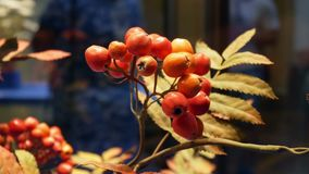 Red cranberries nature people. Red cranberries with dew drops. Human hand plucks berries. Close-up stock video footage