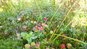 Red cranberry berries on a bog