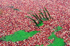 Red cranberry bog with green grass Royalty Free Stock Images
