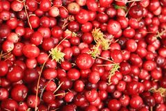 Red cranberry with damp moss Royalty Free Stock Photo