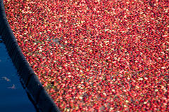 Red Cranberry Harvested Stock Photos
