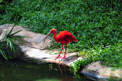 Red Crane Royalty Free Stock Image