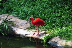 Red Crane Royalty Free Stock Image