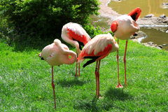 Red Cranes buried their heads Stock Photo