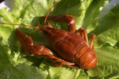 Red crawfish Stock Images
