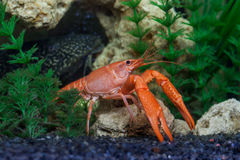 Red crawfish in aquarium royalty free stock image
