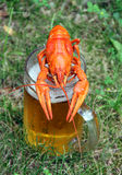 Red crawfish. With beer on green grass Stock Photos