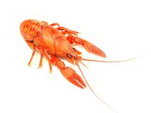 red crawfish on white background Royalty Free Stock Image