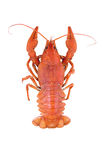 Red crawfish on white background Stock Image