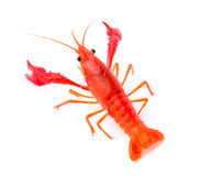 Red crawfish on white background Stock Photos