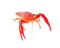Red crawfish on white background Stock Image