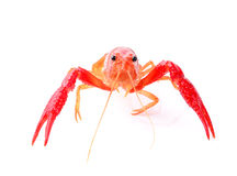 Red crawfish on white background Stock Photo