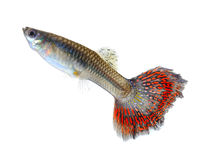 Red crawfish on white background Stock Photography