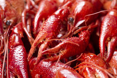 Red crayfish Royalty Free Stock Photography