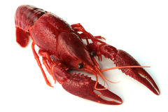 Red crayfish  Royalty Free Stock Images