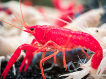 Red crayfish Royalty Free Stock Photos