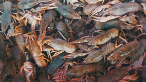 Red Crayfish on the Counter Fish Market. stock footage