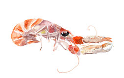 Red crayfish, crawfish, cray fish. Watercolor seafood Royalty Free Stock Photos