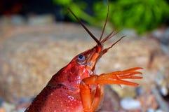 Red crayfish Royalty Free Stock Photos
