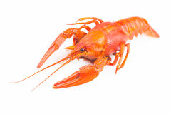 Red crayfish isolated on a white. Background Royalty Free Stock Photo