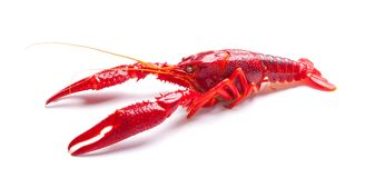 Crayfish or crawfish on a white seamless surface. Red crayfish isolated on a white background Stock Images