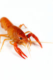 Red crayfish Royalty Free Stock Photo