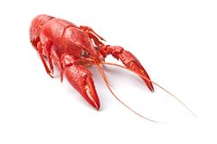 Red crayfish. One prepared red crayfish on white background Stock Photos