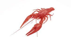 Red crayfish walking on white background. Red crayfish walking on white background stock footage
